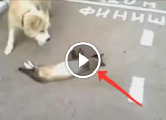 кот обхитрил собаку