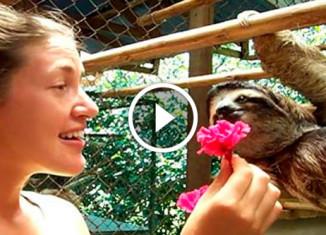 Ленивец хочет обнимашек