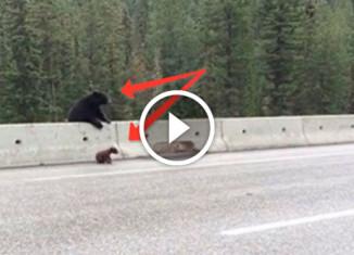 Медведица забирает малыша с дороги