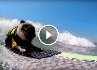 Мопс-серфингист