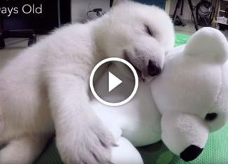Первые три месяца белого медвежонка