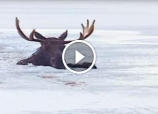 Спасение лося, провалившегося под лед