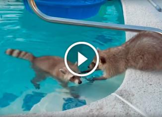 Еноты в бассейне