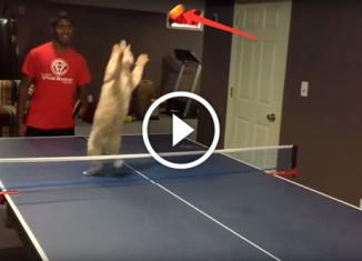 Коты играют в пинг понг