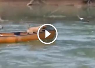 Лабрадор вытащил лодку
