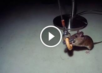 Мышь воровка