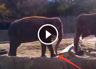 Слон ломает палку
