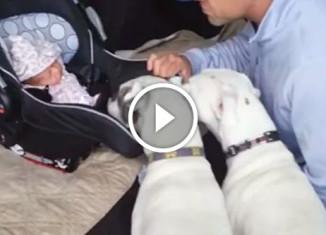 Собаки встречают пополнение