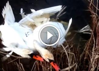 Спасение лебедей