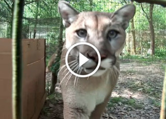 Must see big cats reaction on boxes!