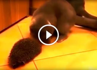 Кот чешется об ежа