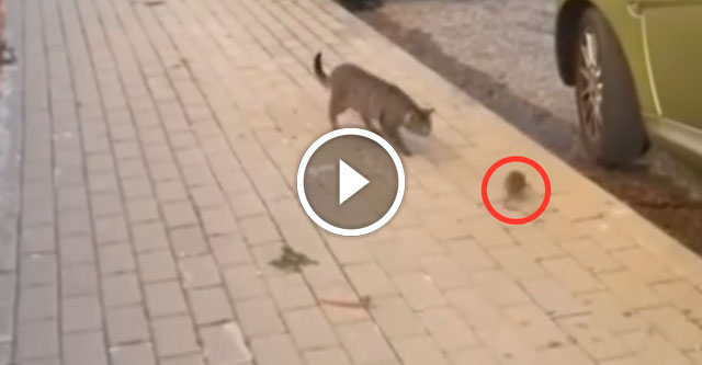 Кот убегает от мыши