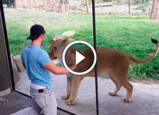 Львы в шоке от поведения парня