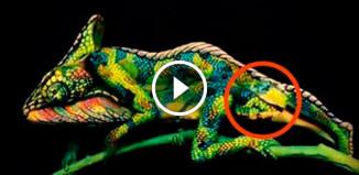 Необычный хамелеон