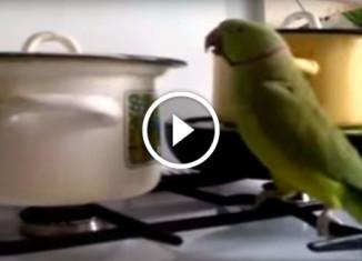 Попугай гремит кастрюлей