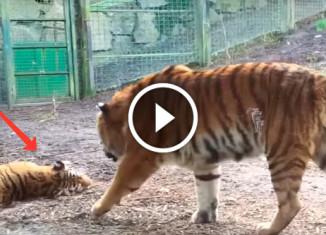реакция тигра на пробуждение