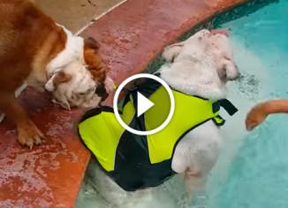 Собака вытаскивает собаку из бассейна