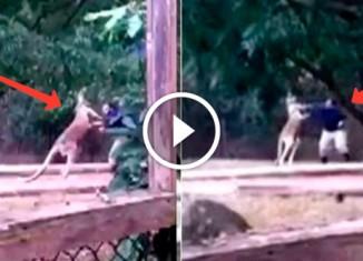 Кенгуру подрался с работником зоопарка