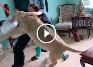 Лев напал на гостя