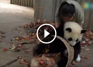 Панды мешают убирать