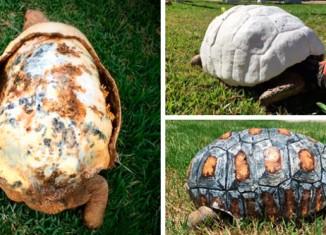 Панцирь для черепахи