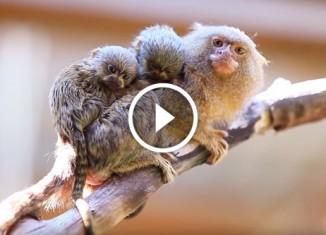 Самая маленькая обезьяна и её детёныши