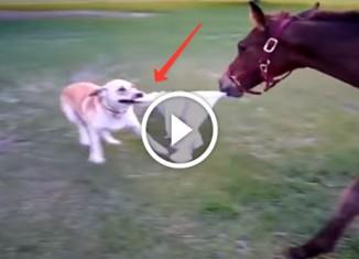 Собака дразнит лошадь