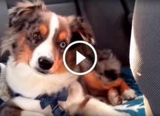 Собака услышала любимую песню