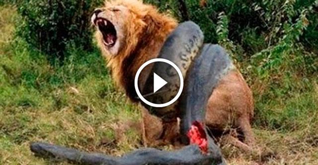 Сумасшедшие битвы животных