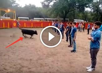 Эксперимент с быком