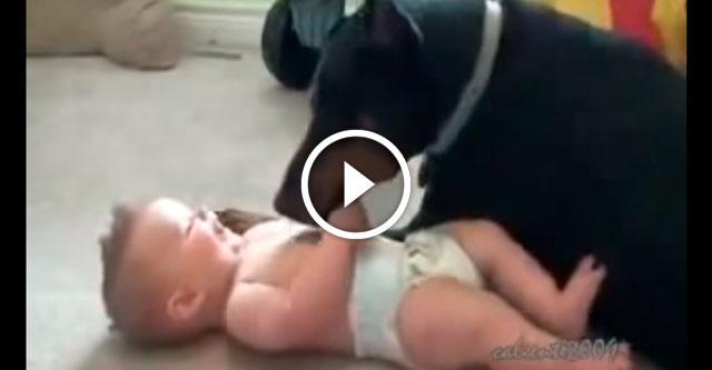 Доберман развлекает малыша