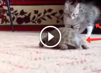 Котенок против черепахи