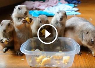 Луговые собачки едят кукурузу