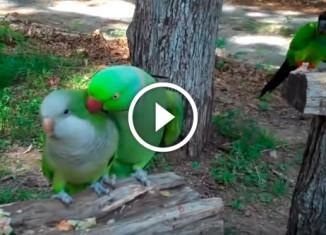 Попугай целует подружку