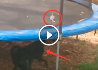 Собака сгоняет голубя с батута