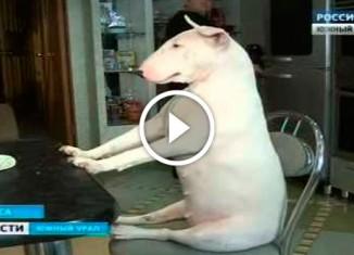 Интеллигентная собака