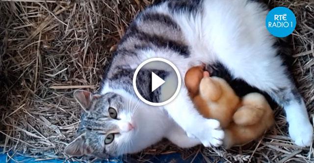 Кошка кормит утят