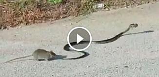 Крыса бросилась на змею
