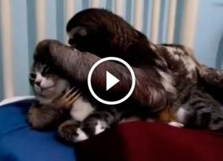 Ленивец и кот
