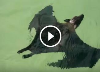 Летучая лисица плавает