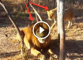 Львица напугала льва