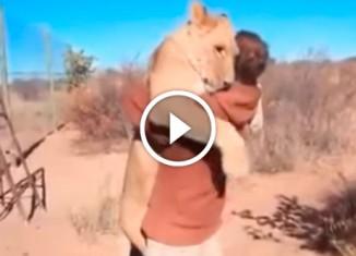 Львица обнимает парня