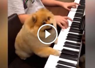 Померанский шпиц играет на пианино