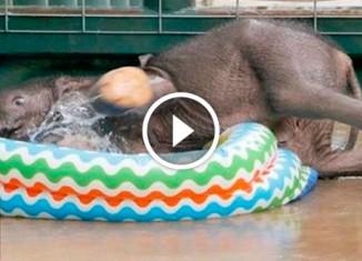 Слоненок впервые купается