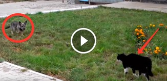 Кот охотится на собаку