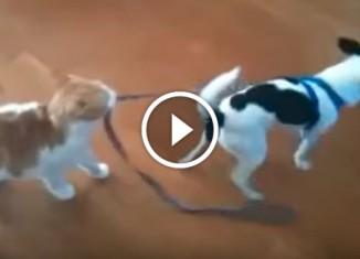 Кошка тянет собаку