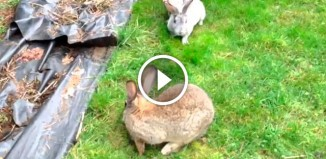 Курицы разборонили кроликов