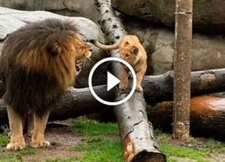 Львята знакомятся с отцом