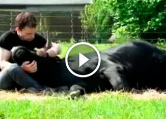 Парень спас быка