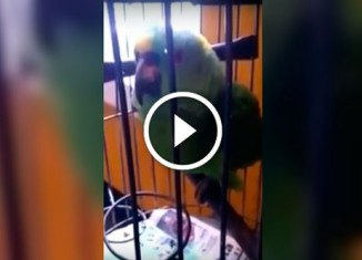 Попугай говорит, как младенец